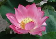 lotusflower-182x128